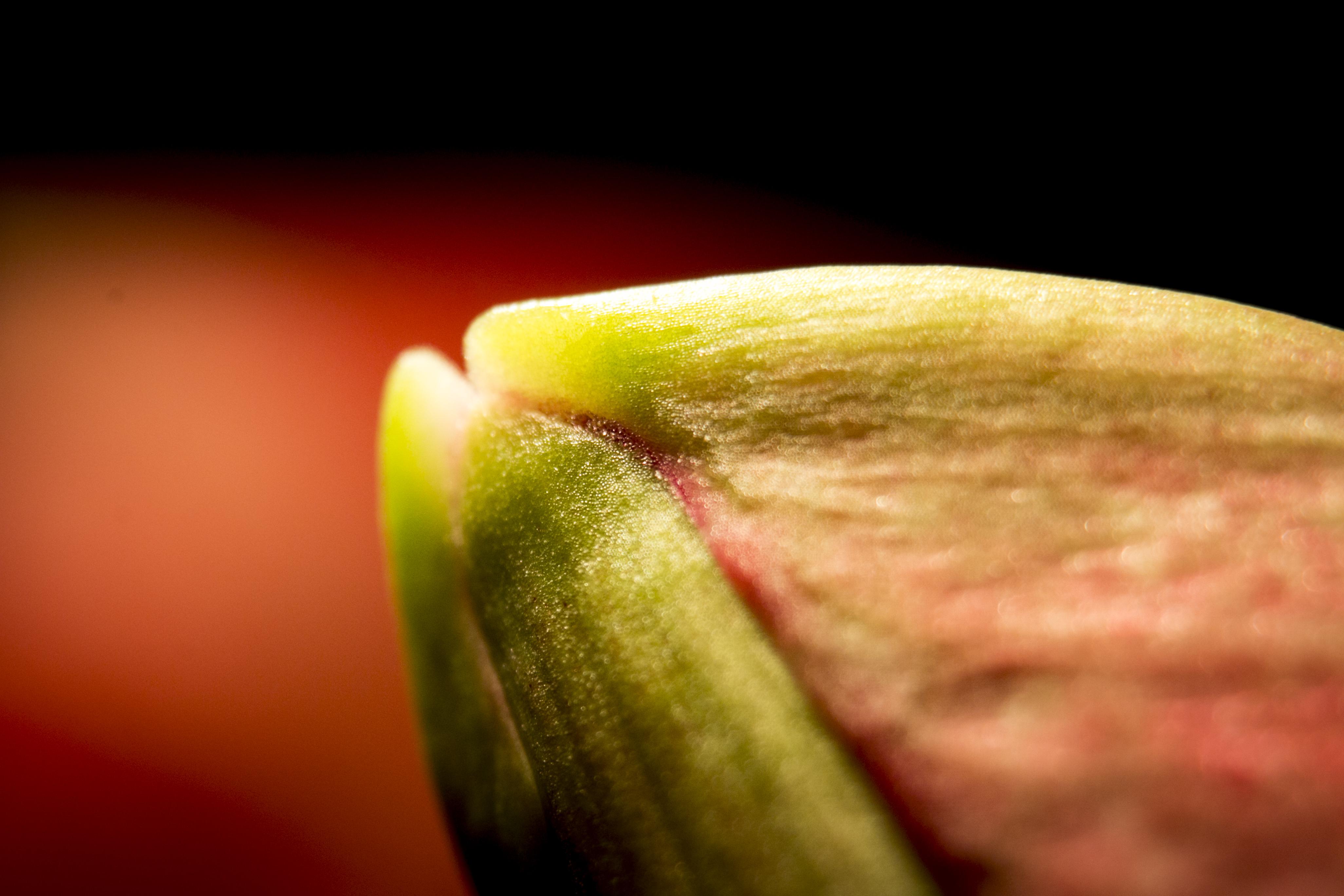 141127 andraideal amaryllis 3