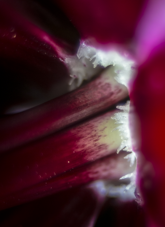 161001 amaryllis andraideal 1 liten